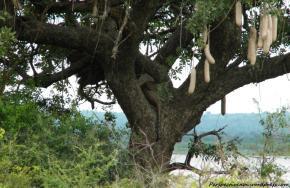 Uganda - In savana