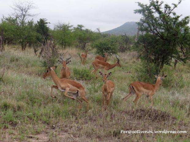 In savana - Africa de sud : Madikwe Game Reserve