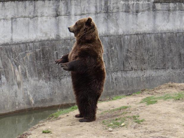 Zoo Brasov - un urs
